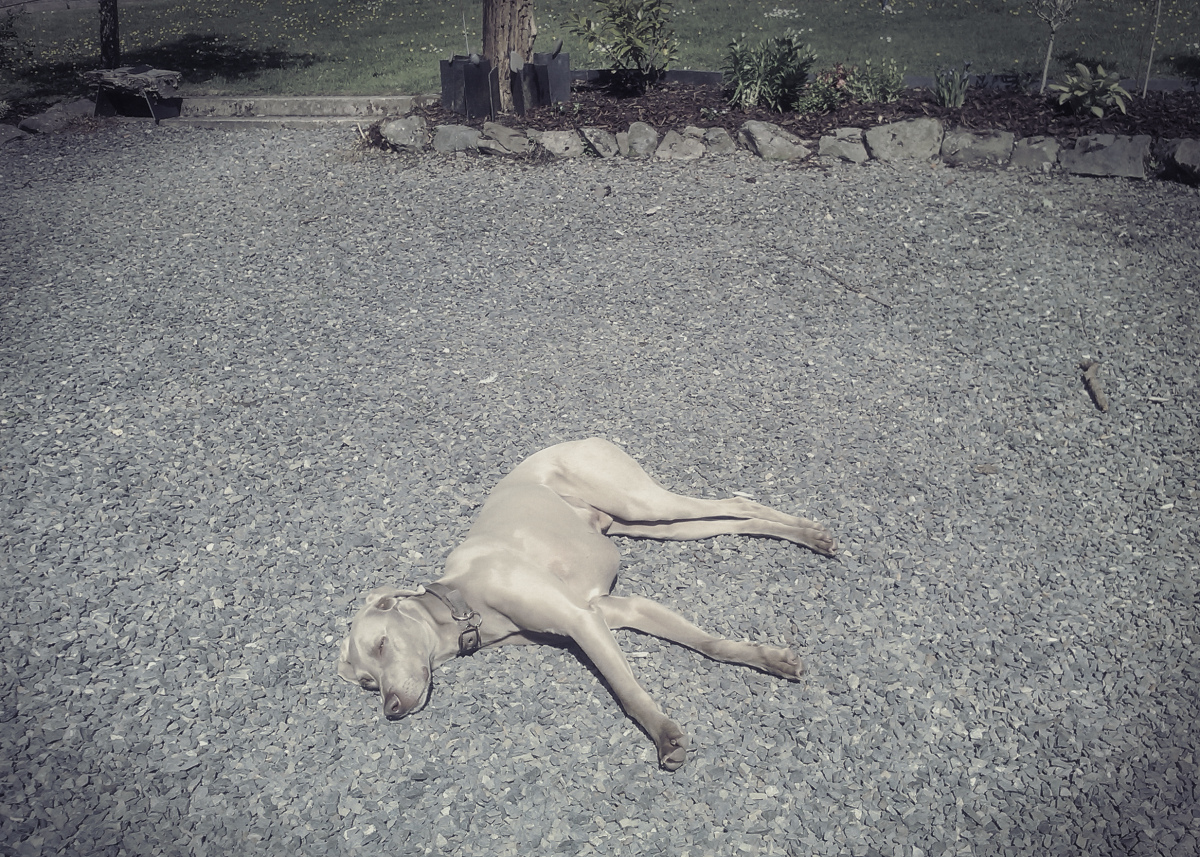 sunbathing dog