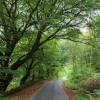 Road below huge beech trees