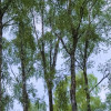 Vertical lines: tall birch trees