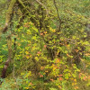 Untidy willow
