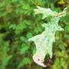 Oak leaf, closeup