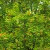 Orange leaves amongst green foliage