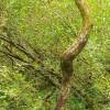 Bendy willow
