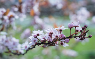 May blossom, closeup