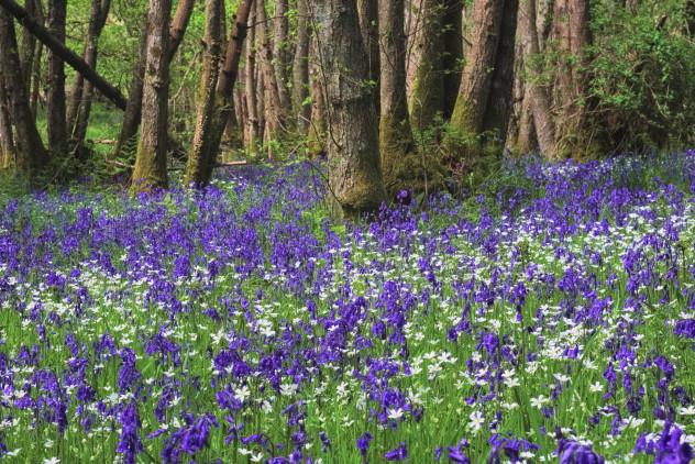 Bluebells, near Crieff
