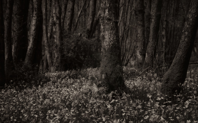 Bluebells, infra-red filter, sepia-toned monochrome