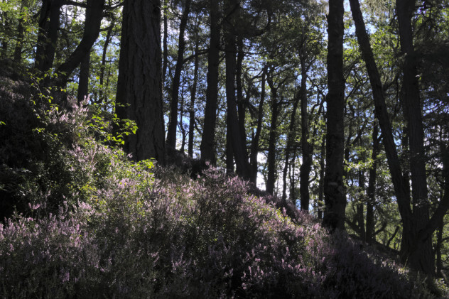 Clambering in heather:  pine trees and purple heather - clambering around the hillside on the way up to the top of the Lodore Falls