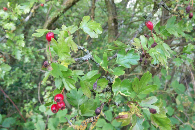 Detail of hawthorn berries