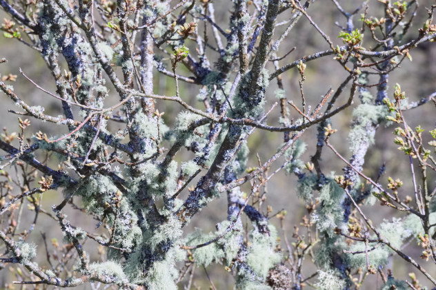 A mess of branches and twigs covered in lichen.