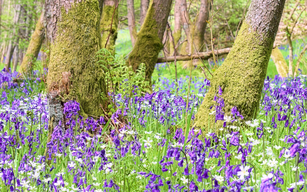 A favourite sign of spring - a bluebell wood outside Crieff