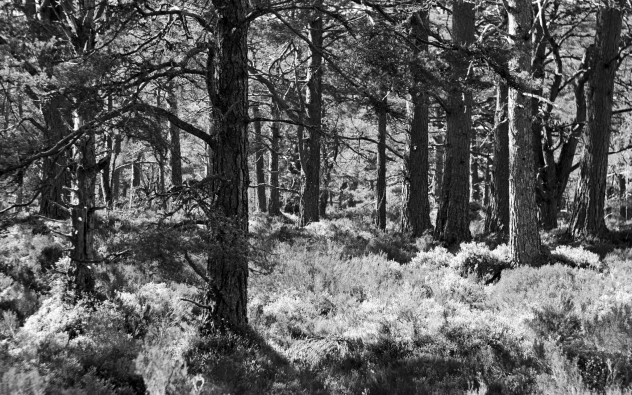 Sunlight and trees in the Black Woods of Rannoch.