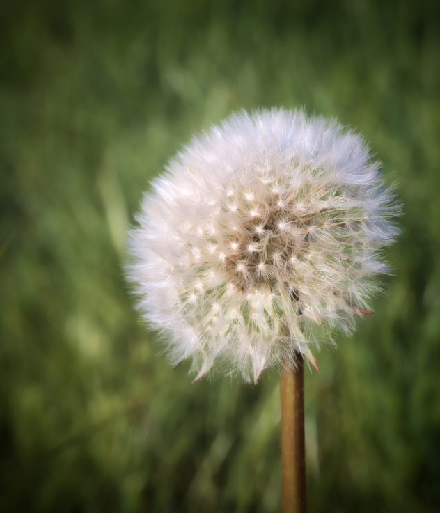 Just a large fluffy white dandelion seed-head against a sea of green grass in the background.