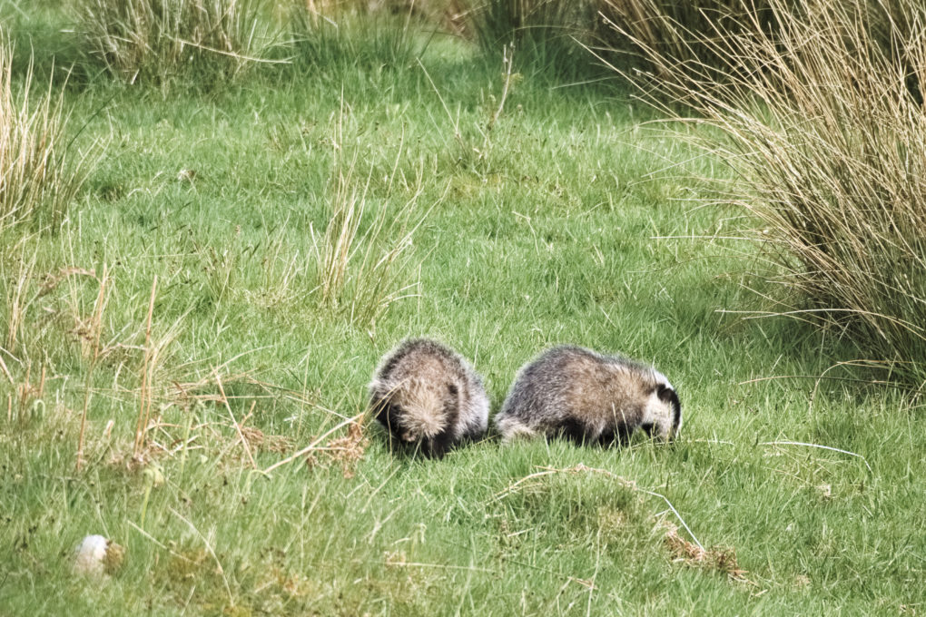 Two badgers by the wayside, obviously bored of looking at me... :)