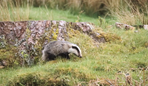 Whilst driving along the road, I was rather surprised to see a fuzzy grey beastie strolling around in the verge. On a quick inspection, it turned out to be a badger! Smaller than one would imagine given nature documentaries, but no less gorgeous for it.   So I stopped and strolled back with the 75-300mm lens attached and got this...