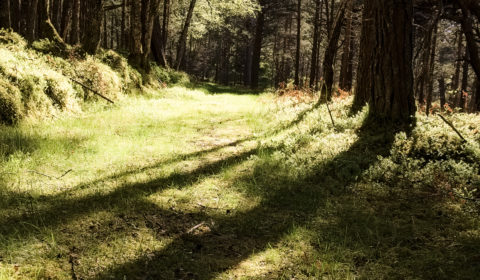 The gentlest of paths through one of my favourite bits of woodland - the Black Woods of Rannoch