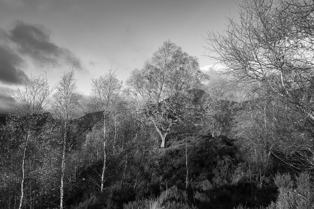 Glorious monring sunlight illuminating a stand of birch trees against a blue sky, Glen Affric.