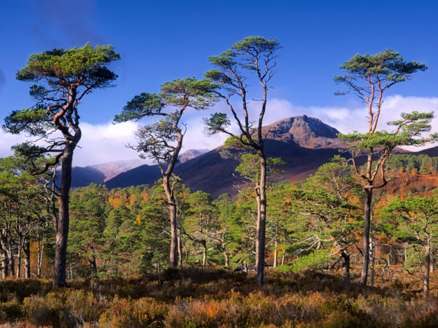 A small group of moderately old Scots Pine trees with Sgurr na Lapaich in the distance.