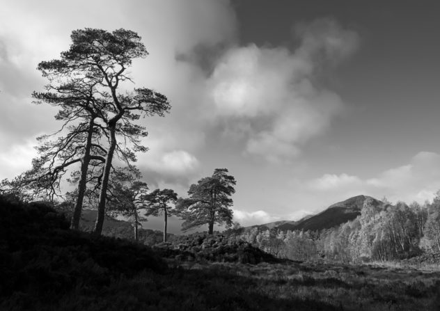 Some of my favourite trees - slightly gnarled, characterful old SCots Pines