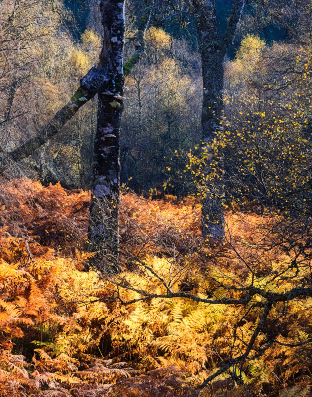 Lines and colours - birch trees basking in the golden sunlight of autumn
