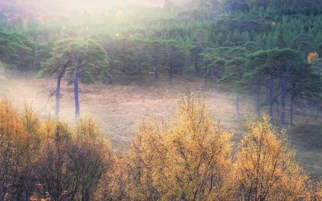 My favourite forest, my favourite trees. Old Scots Pines in the Caledonian Forest, early on an autumn morning, with a hint of mist and the sun blasting through.  Contentment. Idyll. Tranquility. Home, of a sort.