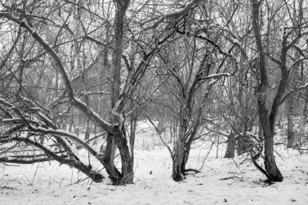 A plethora of liens - hawthorn trees in the snow