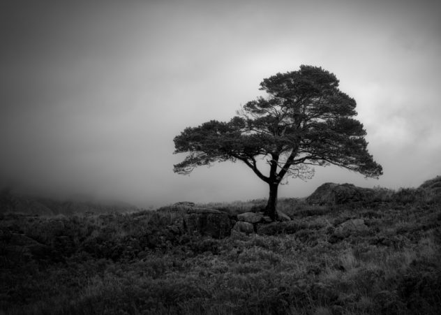 A gnarled old Scots Pine tree on the shore of Loch Maree