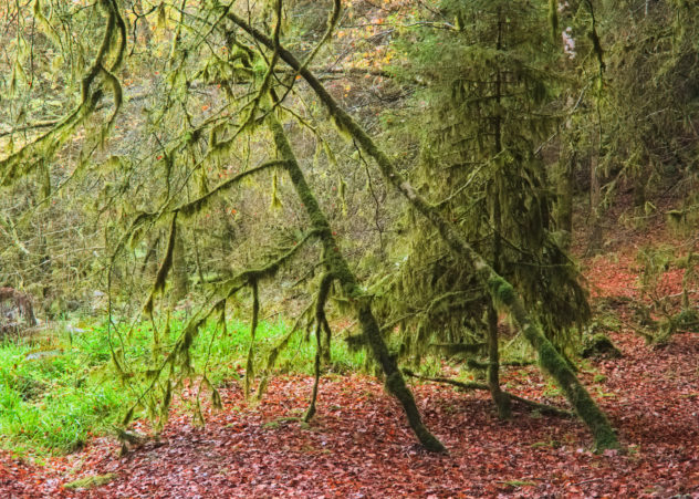 A tangled mess of lichen- and moss-covered green trees (birch?) amid red fallen leaves