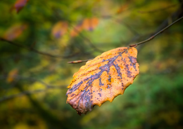 Detail of a beech tree leaf, decaying for autumn