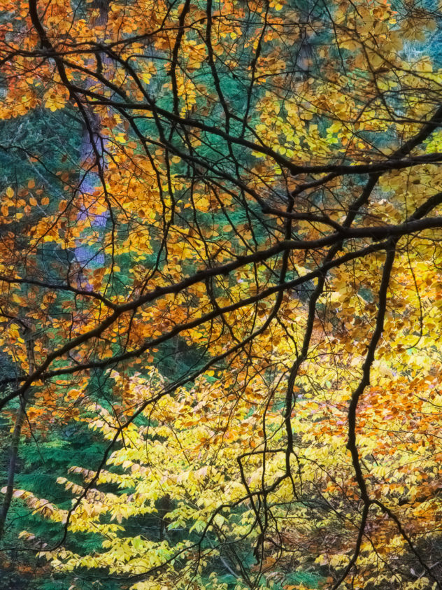 Just a beautiful contrast of glowing warm orange/gold coloured leaves against distant turquoise fir needles, with the silhouette of foreground branches resembling the leading in a stained-glass window.