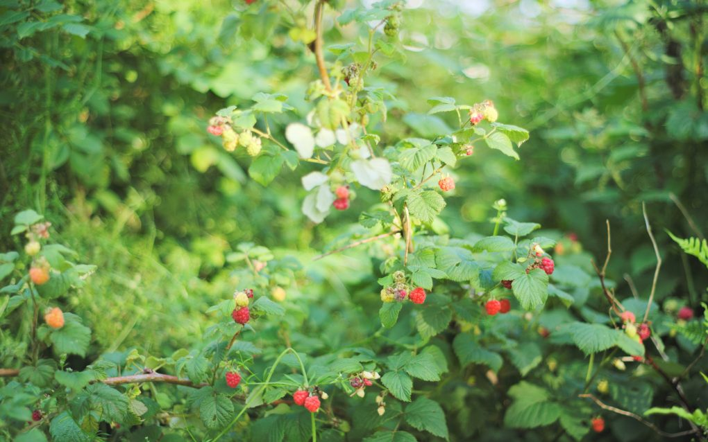 Wild raspberries along the farm track