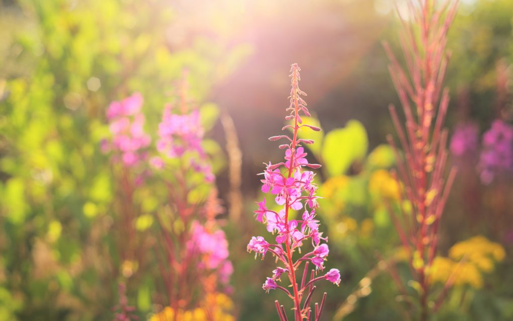 Willowherb might be just a weed, but its pink petals looked frightfully pretty in the evening sun.