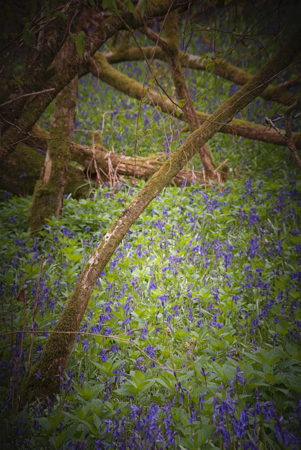 A few early bluebells from the end of April along Lady Mary's Walk, Crieff