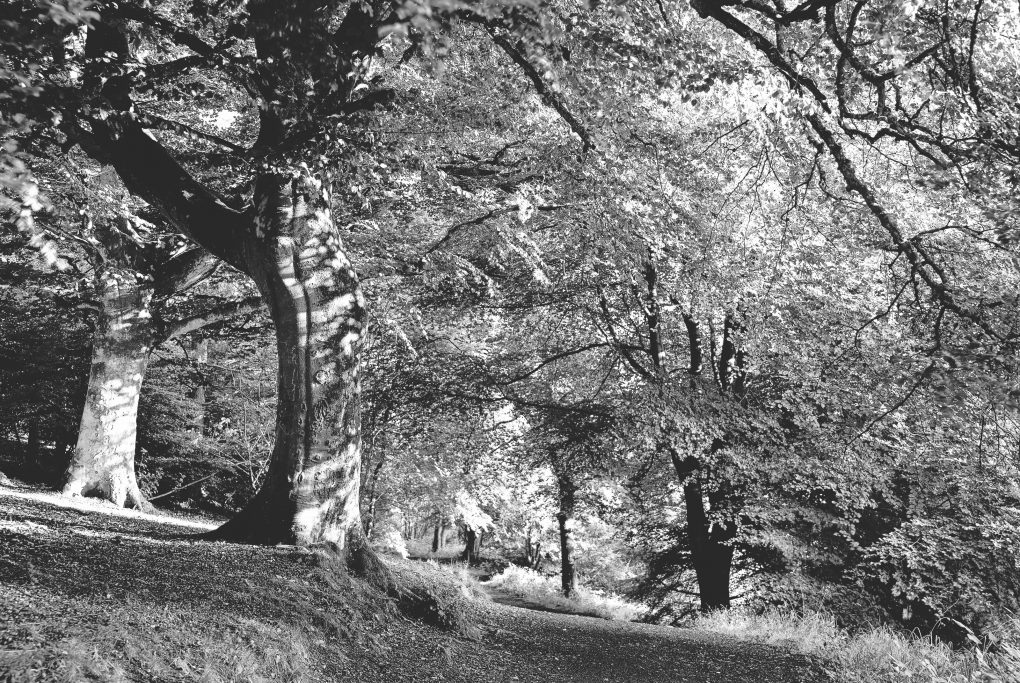 A lovely contrasty interplay of light and shadows on beech trees - a favoured combination of subjects.