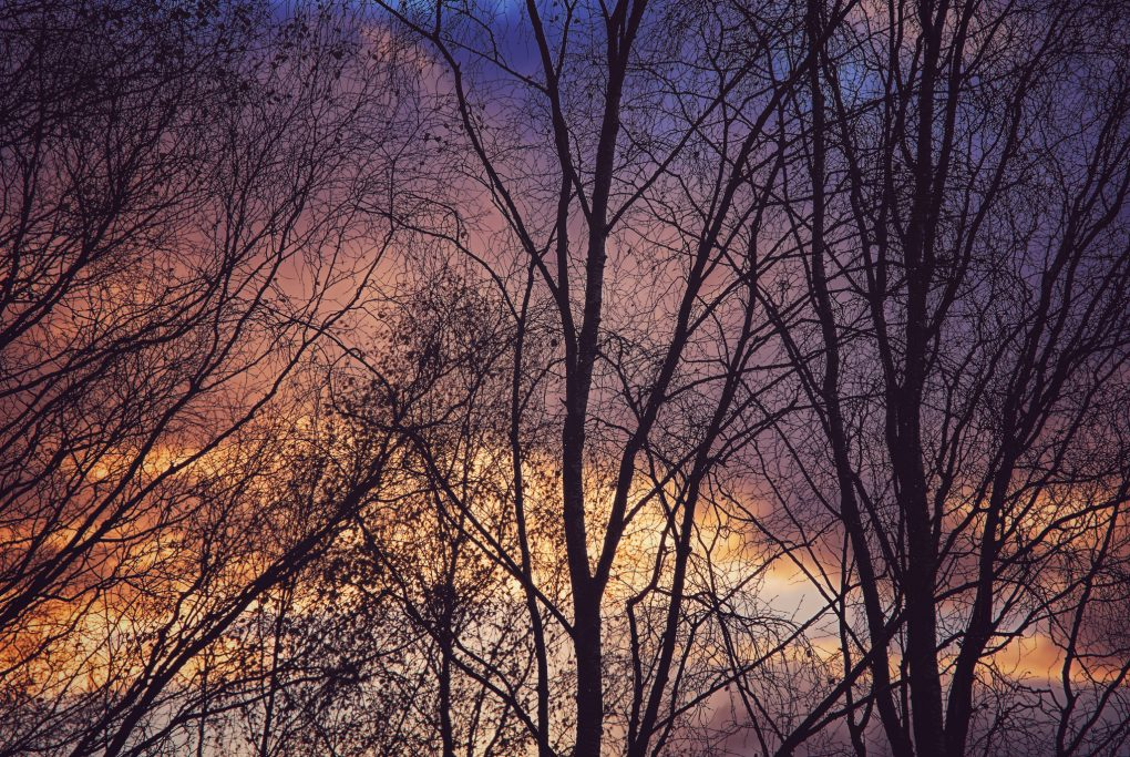 The fine tendrils of birch tree branches silhouetted against the sky, sunrise tinging the clouds bright orange and purple-blue.