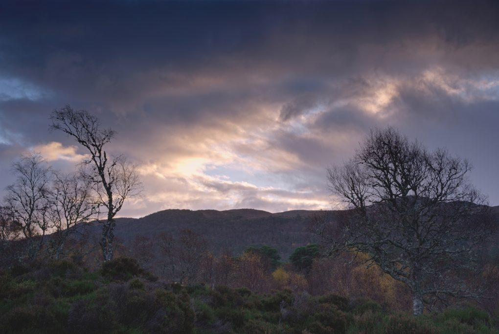 Two of my favourite birch trees amongst the heather in moody dull morning light.
