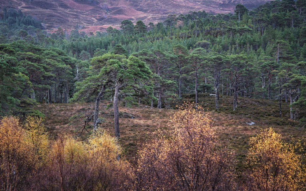 My very favourite old Scots Pine trees amongst hte heather, Glen Affric Caledonian Forest Reserve.