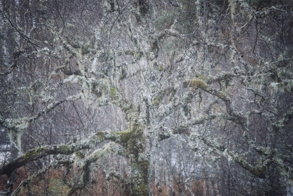 A beautiful characterful birch tree covered in lichen and moss, branches like arms spreading in all directions.