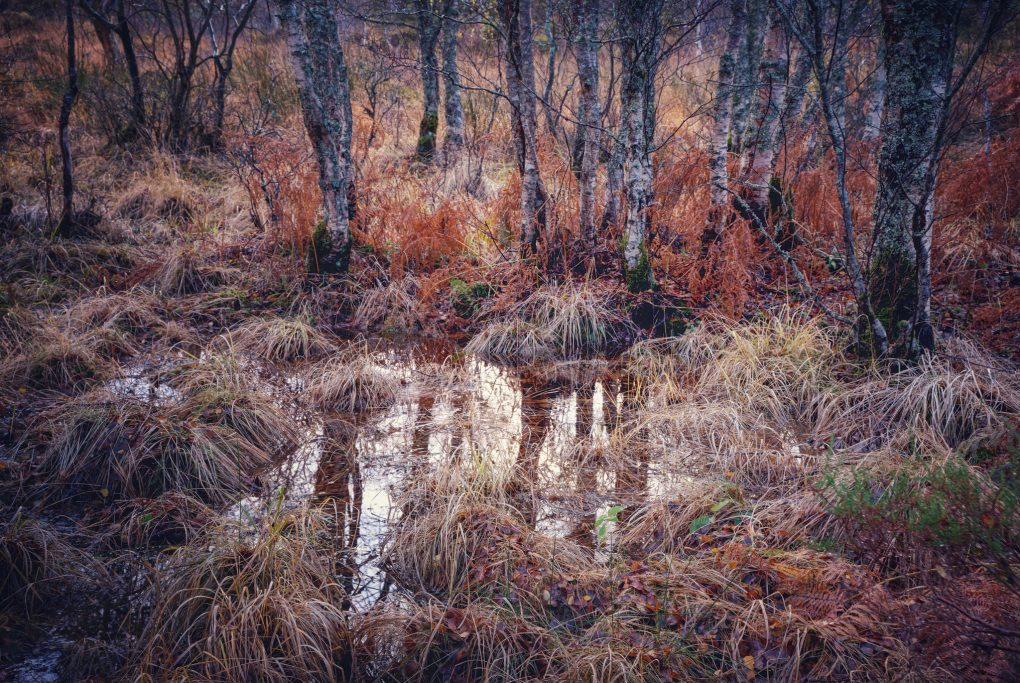 An interplay of textures and lines: partial reflections of birch trees in a puddle amongst the heather and grass