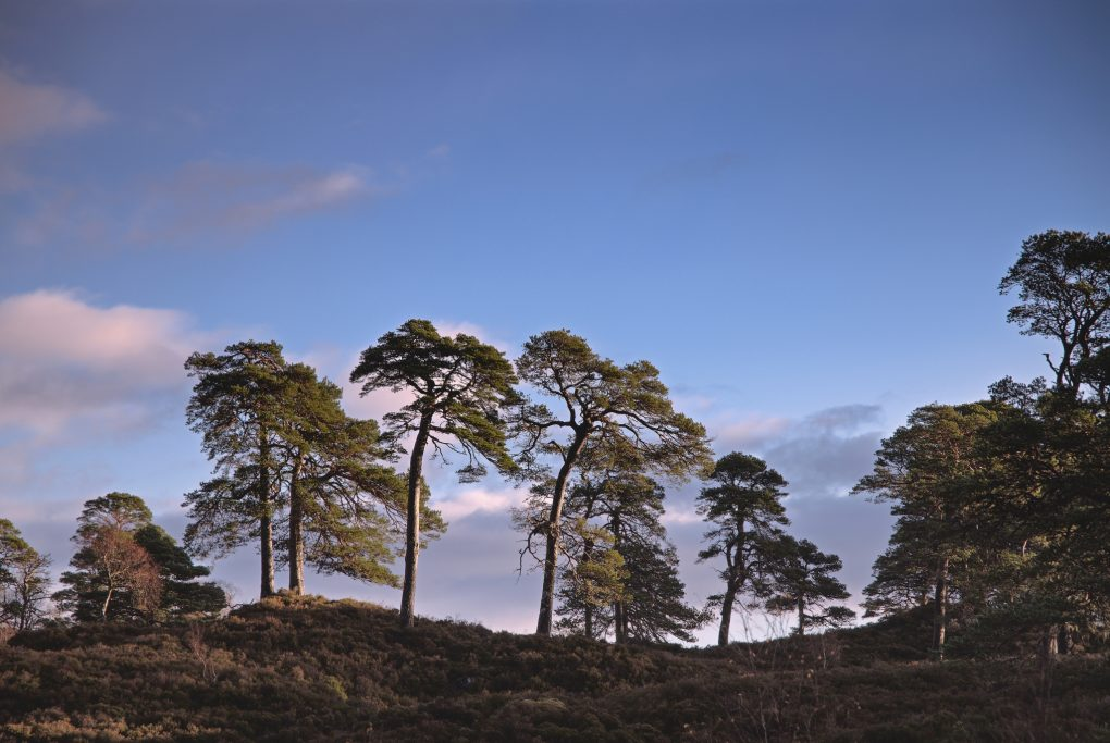 Favoured old characterful Scots Pine trees enjoying a hint of morning light among the heather.