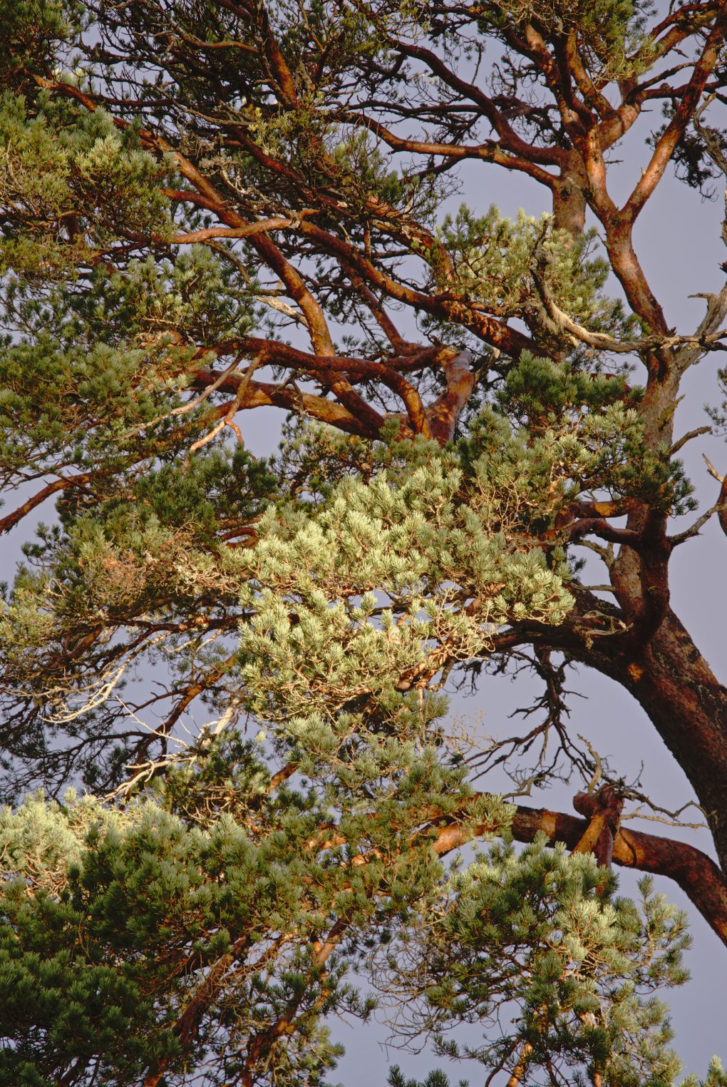 Stunning bright morning light catching the burnished brown bark of a Scots Pine tree