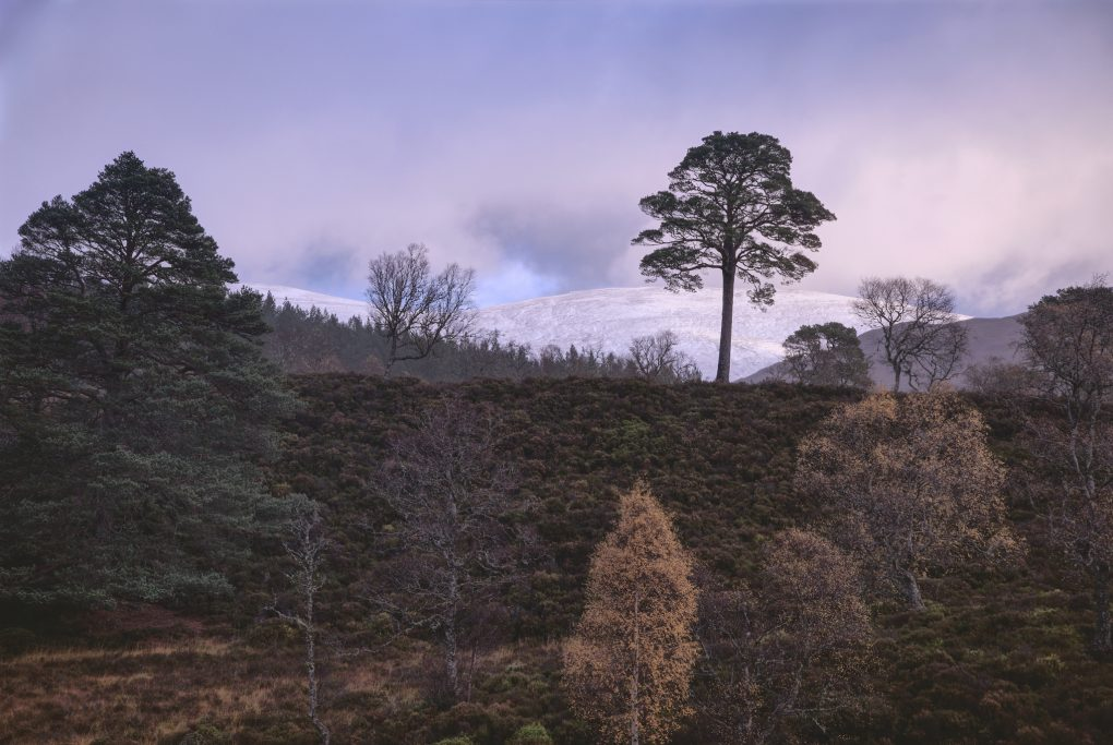 An unusual composition - enjoying subtle tones of morning with clouds passing by, a loose distribution of trees (birch, Scots Pine) amongst the heather on the outskirts of the Caledonian Forest reserve, Glen Affric.