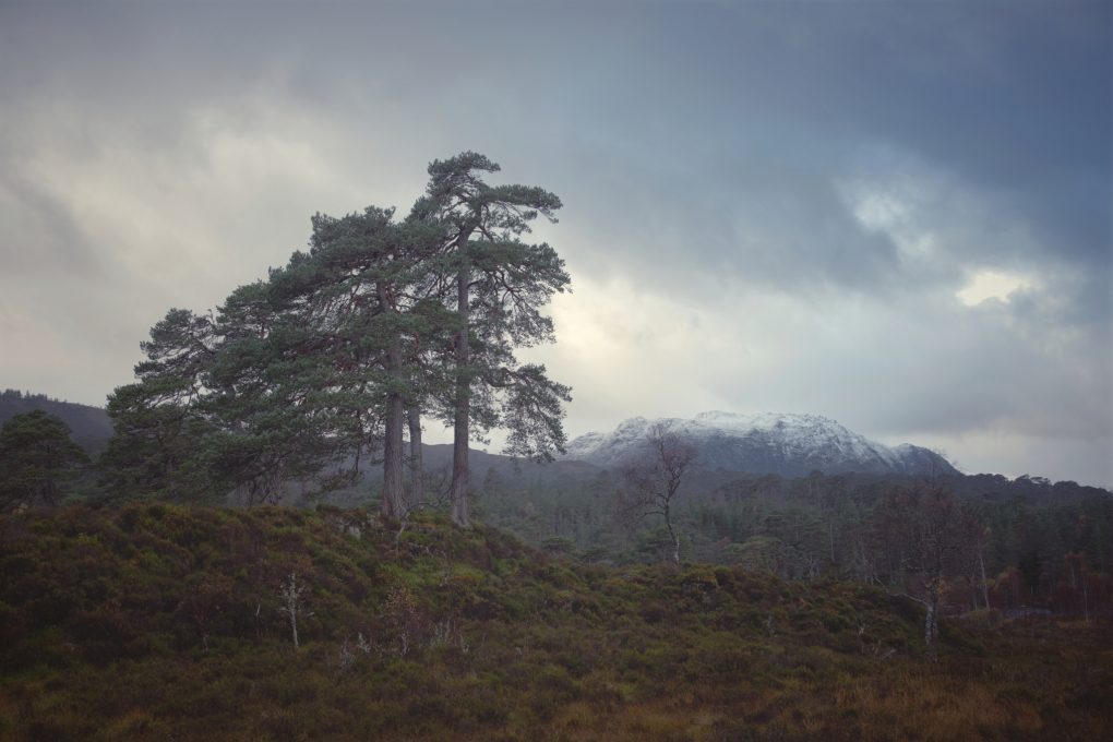 A small clump of granny Pine trees in the Caledonian Forest reserve