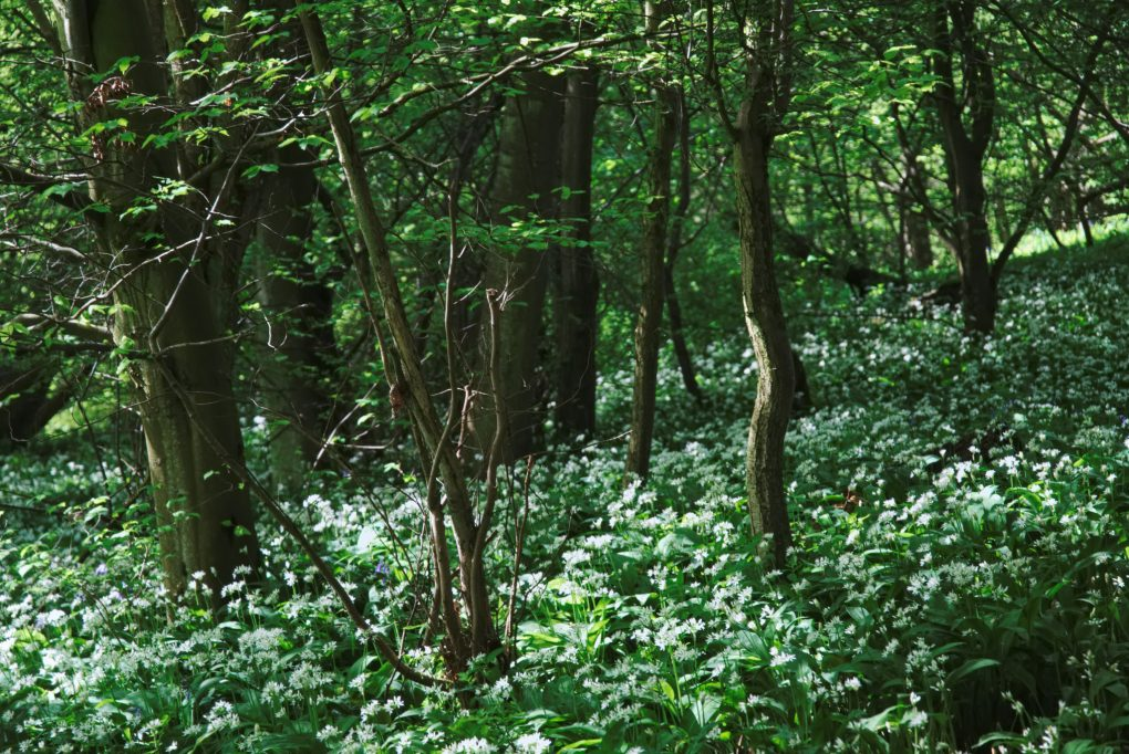Undergrowth in the bluebell woods - an expanse of white wild garlic flowers