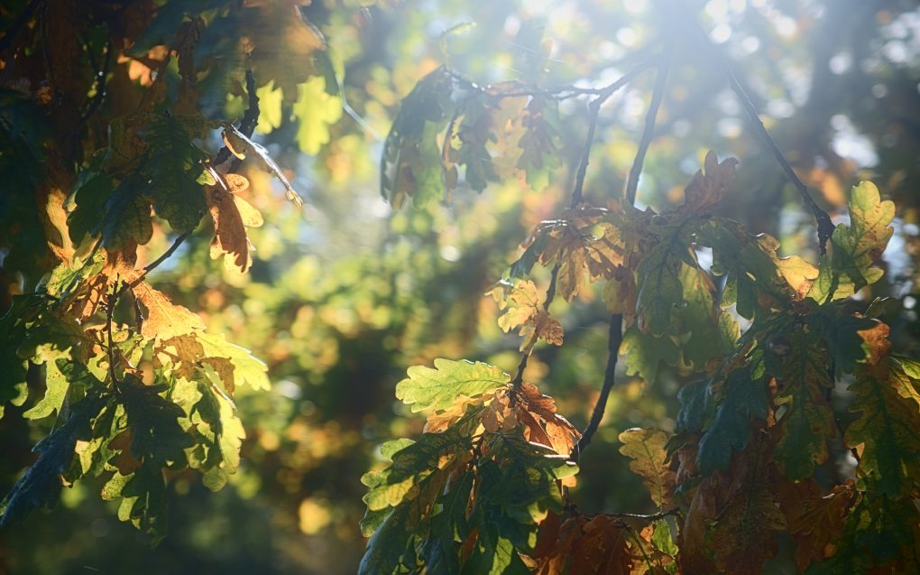 Bright sunligt behind oak leaves turning from green to yellow to orange.