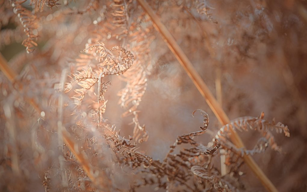 The way the bracken curls reminds me a bit of seahorses... Here catching the bright autumn light.
