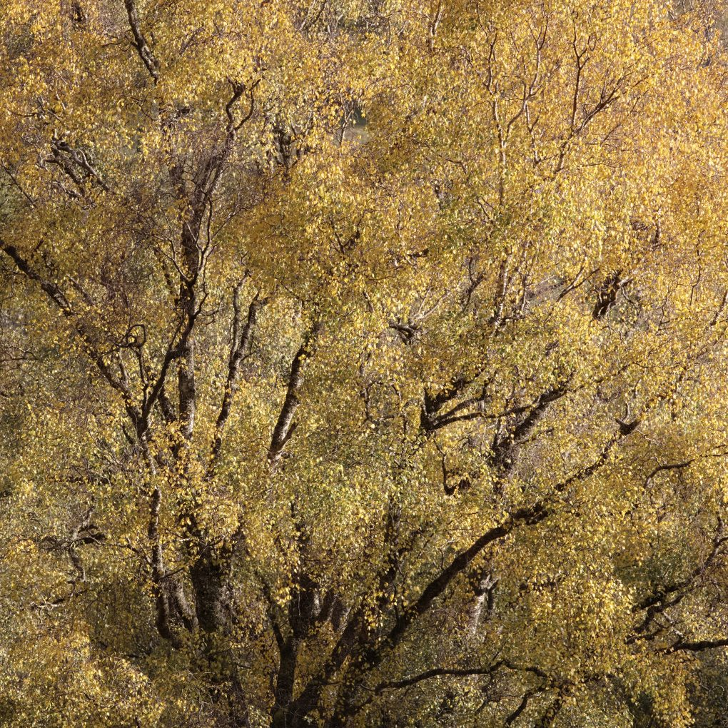 Fragments of birch tree branches in a sea of bright yellow foliage.